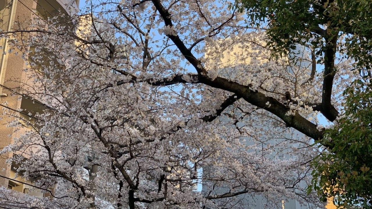 下板橋の桜